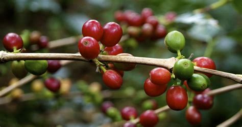 Coffee cherry Images   Frompo