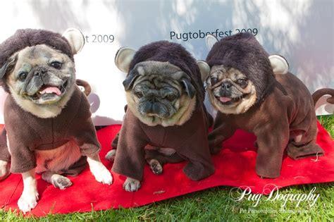 monkey baby pug pin pug baby pugs on