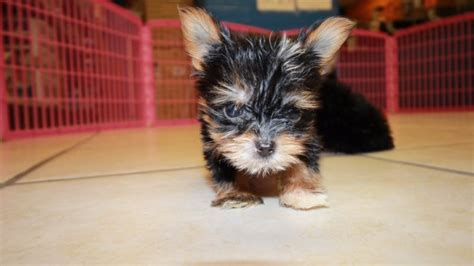 teacup yorkie in ga charming teacup yorkie puppies for sale in at puppies for sale local breeders