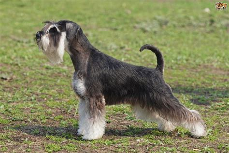 breed schnauzer schnauzer breed information buying advice photos and facts pets4homes