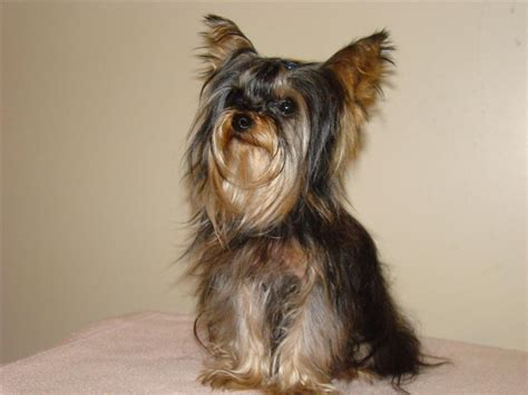 picture of a yorkie terrier fotoblog x bellos terrier
