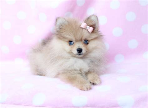 pomeranian puppies for sale in sale pomeranian puppies for puppy at teacups litle pups