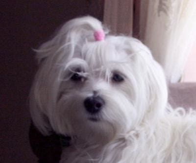 shih tzu fatty tumors yorkie poo names image search results to yorkie poo breeds picture