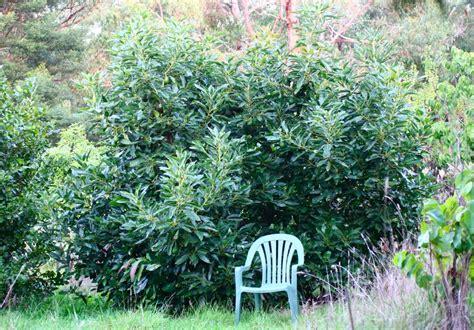 avocado hass tree grafted persea americana