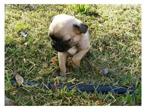 pug puppies for sale in south africa pug puppies available for homes breeds picture