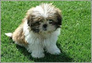 dogs that stay small forever 91 best images about cuddly dogs on discover more best ideas about