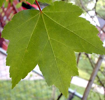 tree shop co uk maple tree acer rubrum hardy brilliant leaves in autumn