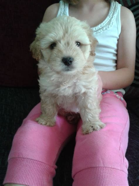 jackapoo puppies for sale jackapoo puppies for sale bedfordshire pets4homes