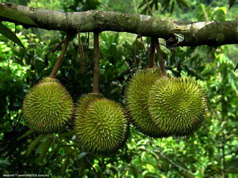 musim durian seribupilihan