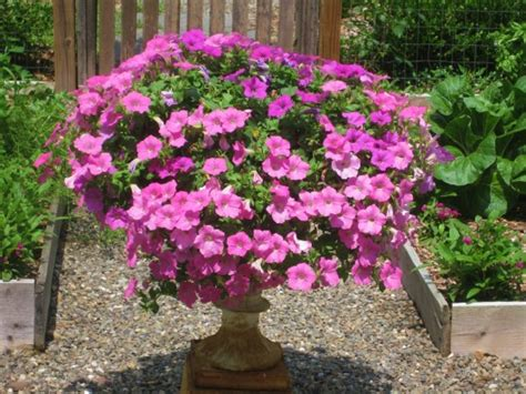 How To Propagate Petunias, Wax Begonias & Impatiens for