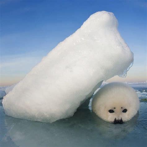 baby seal pup quot shelter photo by daviddoubilet jenniferhayesig harp