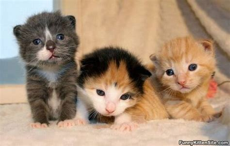 three cute kittens 3 cute kittens funnykittensite com