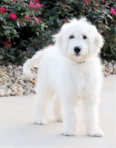 white goldendoodle puppy best 25 white goldendoodle ideas on golden doodles white labradoodle and