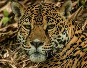 Where Can You Find Jaguars Species Profile Jaguar Panther Onca Rainforest Alliance