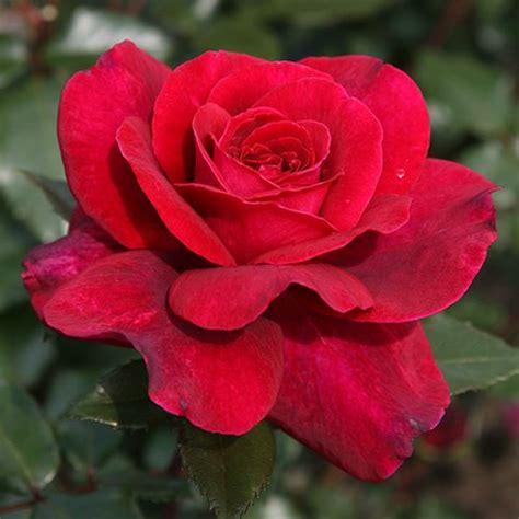 Buy Roses by Soul Eleganza Hybrid Tea