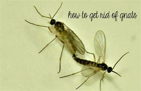 20 effective home remedies on how to get rid of gnats