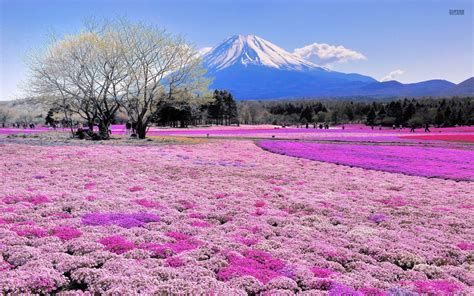 wallpaper flower japan pink flower field mount fuji wallpapers pink flower