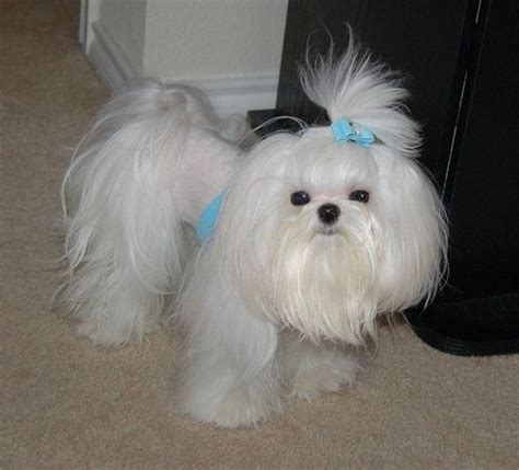 shih tzu mix with maltese shih tzu maltese mix haircuts www imgkid the image kid has it