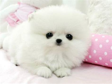pomeranian puppies for free free pomeranians puppies offer albani