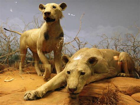 film lion mangeur d homme les lions mangeurs d hommes du tsavo la faute 224 une rage