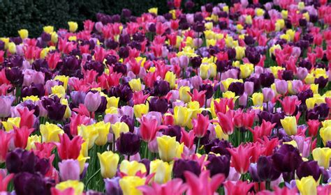 scribbles and photos my tulip gardens