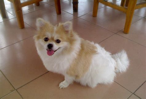 can pomeranians live outside best indoor dogs a guide to small breeds