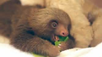 Baby sloth eating an almond leaf youtube