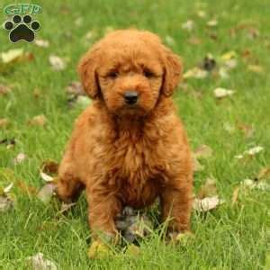 goldendoodle puppy nipping miniature goldendoodle puppies for sale in pennsylvania