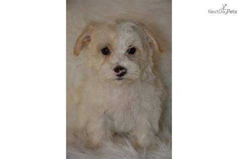 yorkie poo puppies white white yorkie poo puppies white yorkie poo puppies meet chuck a yorkiepoo