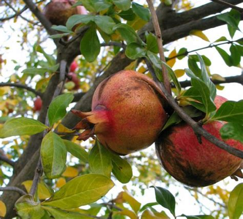 Pome Buah manfaat dan khasiat khasiat buah delima