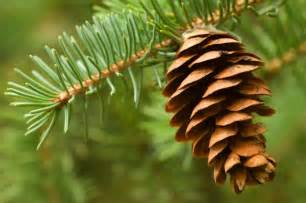 pine cone tree just like pine cones his girls are larger in the middle see the resemblance