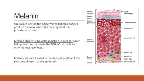 melanin skin color opening assignment 1 the 4 types of tissues ppt