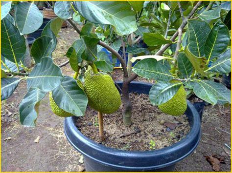 Jual Bibit Buah Tin Yogyakarta jual bibit tanaman buah nangka 0878 55000 800 jual