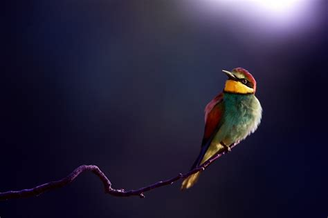 bee eater wallpapers first hd wallpapers bee eater full hd wallpaper and background 1920x1280