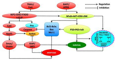diagram of lymphocytes lymphocyte diagram clipart best