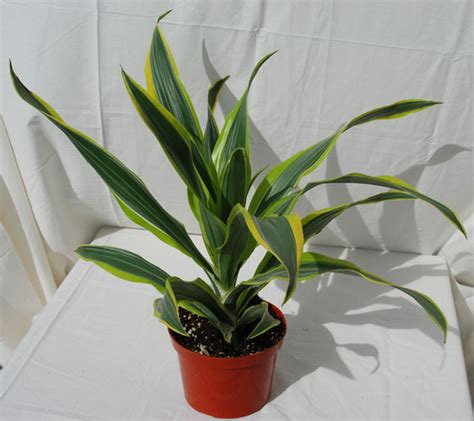 exotic house plants exotic house plants lookup beforebuying