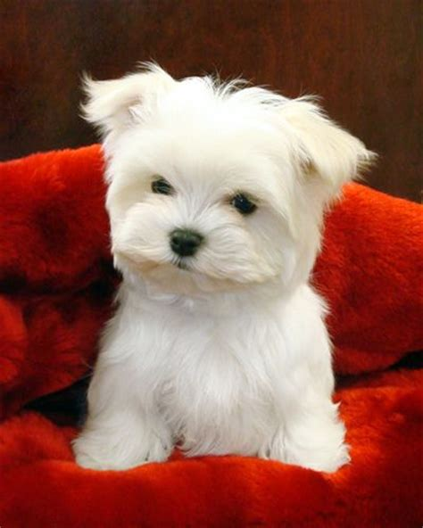 maltese puppies for free 1000 ideas about teacup maltese puppies on maltese maltese puppies and