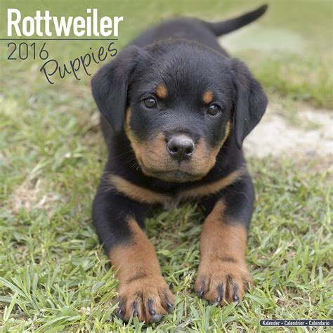 rottweiler items rottweiler puppies calendar 2016 pet prints inc