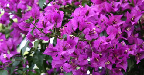 bougainvillea schneiden bougainvillea drillingsblume schneiden mein sch 246 ner garten
