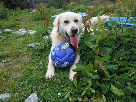 marley and me golden retriever marley the golden retriever needs a new home dawg