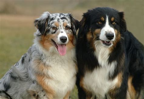 how much are australian shepherd puppies australian shepherd dogs and puppies breed journal
