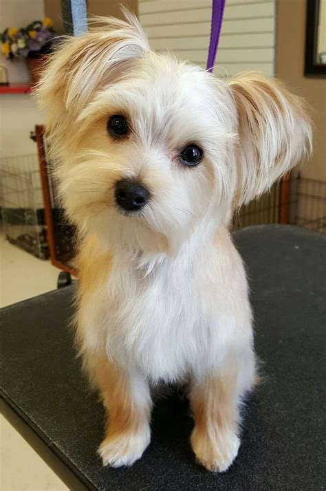 morkie haircut styles morkie haircuts www pixshark com images galleries with