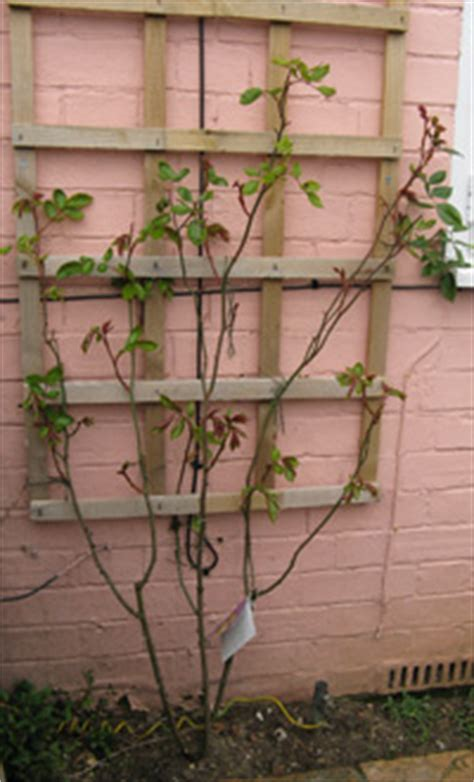 climbing plants for south facing walls climbing plants for walls and fences plants for a