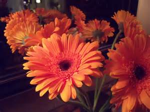 Gerber Daisies by Thinkin Of Home Gerber Daisy Love