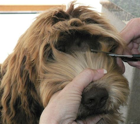 diagram puppy cut goldendoodle 17 best images about australian labradoodle on pinterest