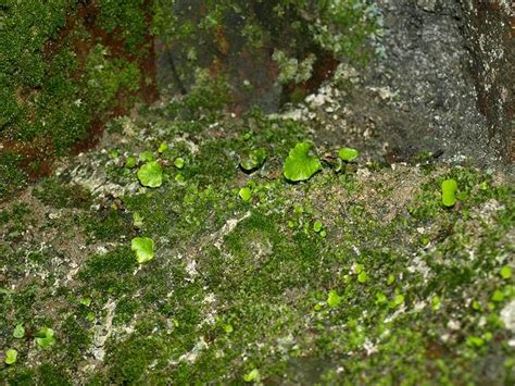 cave plants adiantum capillus veneris maidenhair fern fern images