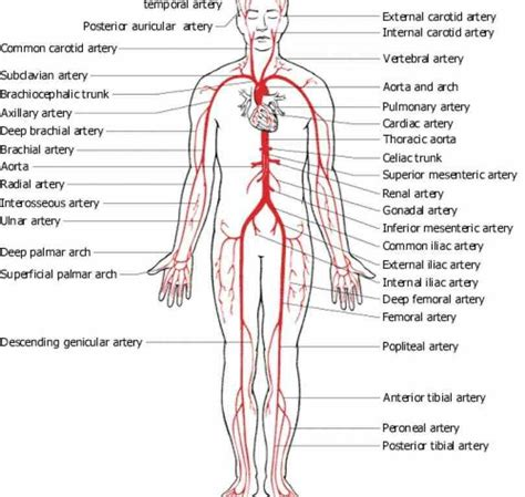 diagram of femoral artery detailed diagrams and information ir arteries and veins