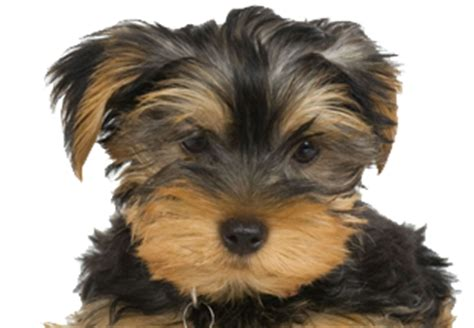 puppy store at doral yorkie puppies for sale in miami yorkie yorkie puppies yorkie for sale in miami