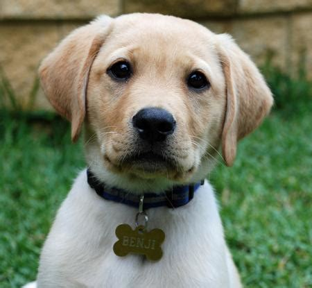 how much puppy food to feed lab puppies foods you must feed a labrador guide to how to feed your lab pets world