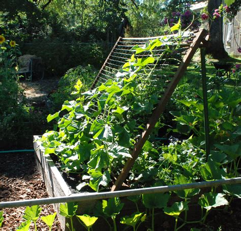 Will Cucumbers Climb A Trellis cucumber trellis ladder for growing cucumbers in limited space garp